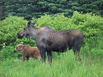 moose standing with calf