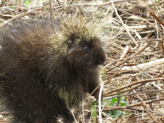 North American porcupine 3