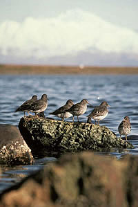 Image of shorebirds